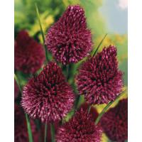 Allium ´Sphaerocephalon´ / Česnek okrasný, bal. 10 ks, 5/+