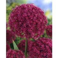 Allium ´Purple Sensation´ / Česnek okrasný, bal. 5 ks, 12/+