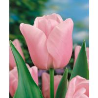 Tulipa ´Esther´ / Tulipán, bal. 5 ks, 11/12