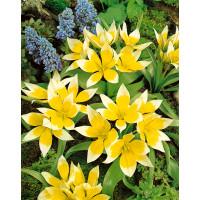 Tulipa ´Tarda´ / Tulipán, bal. 5 ks, 8/+