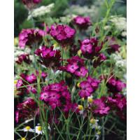 Dianthus carthusianorum / Hřebíček kartuziánský, C1