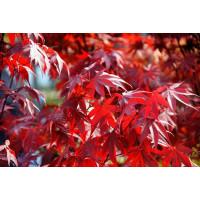 Acer palmatum ´Atropurpureum´ / Javor dlaňolistý, bal. 5 sem.