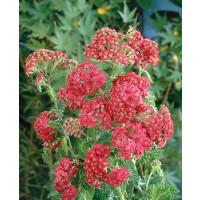 Achillea millefolium ´Cerise Queen´ / Řebříček obecný červený, K9