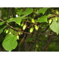Actinidia kolomikta ´Ananasnaya´ / Dlouhoplodé kiwi samičí, 80-100 cm vyv., K11