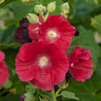 Alcea rosea Mars Magic / Proskurník červený, C1,5