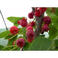 Amelanchier alnifolia ´Mandam´ / Muchovník, 20-30 cm, K13