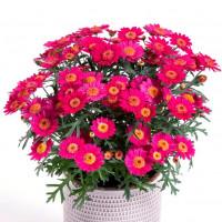 Argyranthemum Day-Zee® ´Wine Red´ / Kopretina, bal. 6 ks sadbovačů