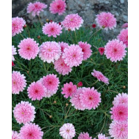 Argyranthemum ´Double Pink Honeybees´® / Kopretinovec růžový, bal. 6 ks sadbovačů