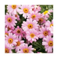 Argyranthemum Honeybees® ´Pink Eye´/ Kopretinovec růžový, bal. 6 ks sadbovačů