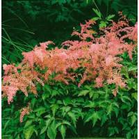 Astilbe simplicifolia ´H. Graafland´ / Čechrava jedn. růžová, K9
