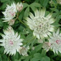 Astrantia major 'Stars of bilionu' / jarmanka větší , C1