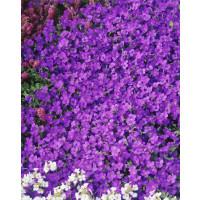 Aubrieta hybrid ´Royal Blue´ / Tařička zahradní modrá, C1,5