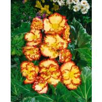 Begonia Crispa Margin. ´Yellow/Red´ / Begónie obroubené žluto-červené, bal. 3 ks, 5/6