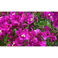 Bougainvilea glabra ´Purple´ / Bugénvilie fialová, K9