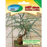 Brachychiton rupestris / Brachychiton ´Lahvový strom´- bonsai tip, bal. 5 s.
