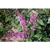 Buddleia davidii ´Pink Delight´ / Komule davidova, motýlí keř, 20-30 cm, C2