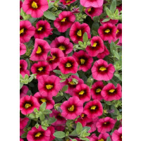 Calibrachoa Sweet Bells® ´Cherry Red Morn´ / Minipetúnie, K7
