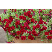 Calibrachoa Sweet Bells® ´Double Red´ / Minipetúnie, bal. 6 ks, 6xK7