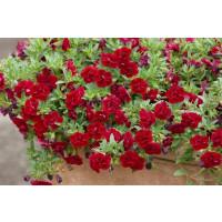 Calibrachoa Sweet Bells® ´Double Red´ / Minipetúnie, bal. 3 ks, 3xK7
