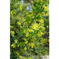 Caragana arborescens / Čimišník stromovitý, 40-50 cm, C3