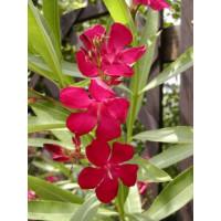 Nerium oleander ´Dark Red´ / Oleandr obecný tmavěčervený, 20 cm, K9