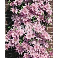 Clematis ´Nelly Moser´ / Plamének růžový, 40 cm vyv., C2