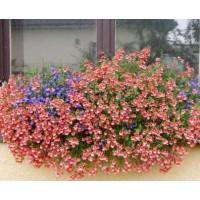 Diascia ´Doortje Pink Elfjes´ / Ostruhatka růžová, bal. 3 ks, 3xK7
