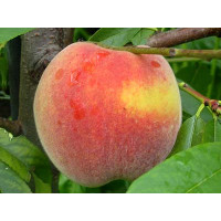 Prunus persica ´Fairhaven´ / Broskvoň, GF677
