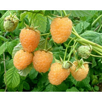 Rubus idaeus ´Golden Everest´ / Malina žlutá, 80-100 cm, K11