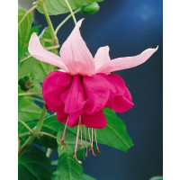 Fuchsia ´Seventh Heaven´/ Fuchsie, bal. 6 ks, 6xK7