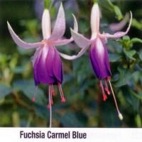 Fuchsia ´Carmel Blue´ / Fuchsie převislá fialová, K7