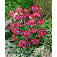 Tulipa ´Little Beauty´ / Tulipán, bal. 5 ks, 6/+