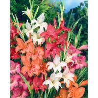 Gladiolus nanus mix / Směs trpasličích mečíků, bal. 10 ks, 9/10