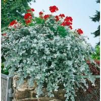 Helichrysum petiolare ´Silver Super Compact´ / Smil řapíkatý, bal. 3 ks, 3x K7