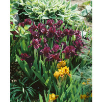 Iris pumila ´Cherry Garden´ / Kosatec nízký, K9
