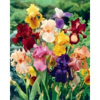 Iris germanica ´Mix´ / Kosatec německý směs, bal. 3 ks, I.