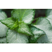 Lamium maculatum ´Beacon Silver´ / Hluchavka skvrnitá, K9