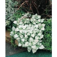 Lamium maculatum ´White Nancy´ / Hluchavka skvrnitá, K9