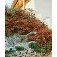 Cotoneaster horizontalis / Skalník vodorovný, 30-40 cm, C1,5