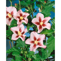 Hibiscus syriacus ´Hamabo´ / Ibišek syrský, 40-50 cm, C3