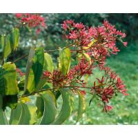Heptacodium miconioides / Heptakodium jasmínovité, 40-60 cm, C3