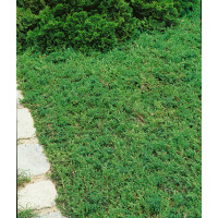 Juniperus communis ´Green Carpet´ / Jalovec obecný, 10-15 cm, K13