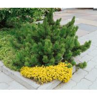 Pinus mugo mughus / Borovice kleč, 15-20 cm, K9
