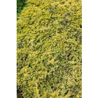 Juniperus horizontalis 'Golden Carpet' / Jalovec, C3