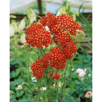 Achillea millefolium ´Paprika´ / Řebříček obecný červený, K9