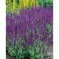 Salvia nemorosa ´Ost Fiesland´ / Šalvěj hajní , K9
