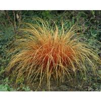 Carex comans ´Bronze Perfection´ / Ostřice, K9