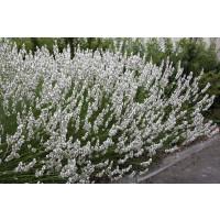 Lavandula angustifolia ´Edelweis´ / Levandule úzkolistá, K9