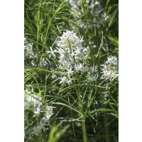 Amsonia hubrichtii / Amzónia , K9