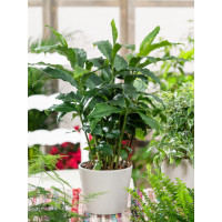 BIO Elettaria cardamonum / Kardamon pravý se skořic. aroma, 20-30 cm, K12